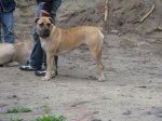 Южноафриканский бурбуль новая для наших краев собака.Невероятная сила и грациозность этой собаки находят все больше поклонников этой породы.
